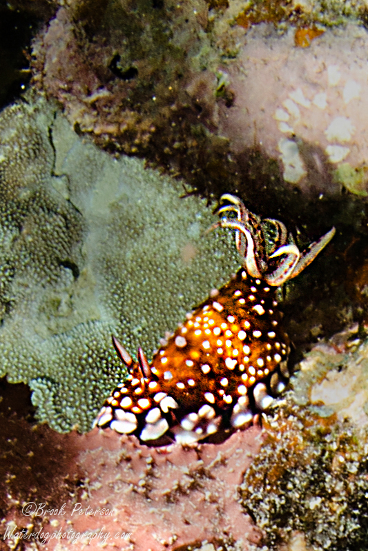 chromodoris-1