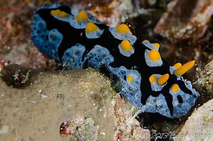 nudibranch small