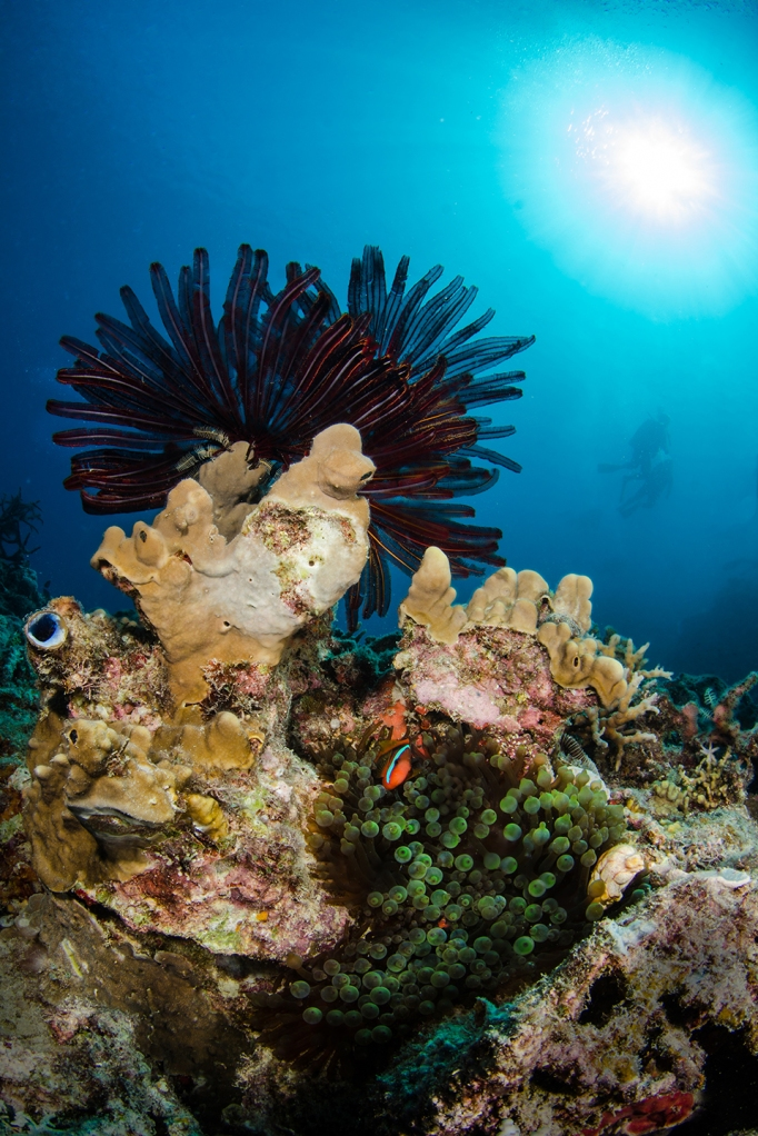 This Feather Star shades the anemone fish's home from the sun.