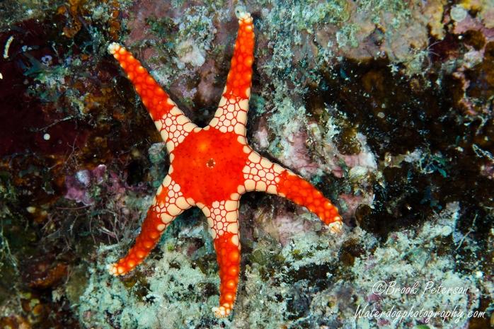 Peppermint Sea Star