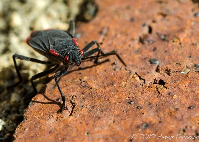 20130215-Boxelder Bug