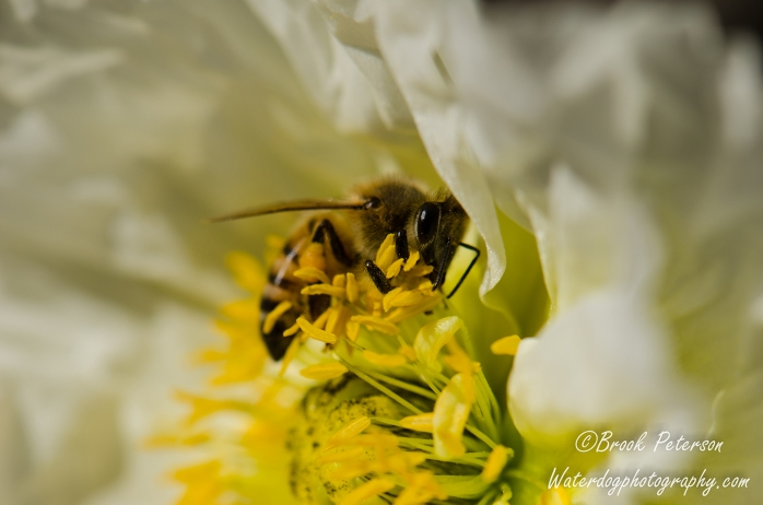 A Bee gathers pollen from a poppy