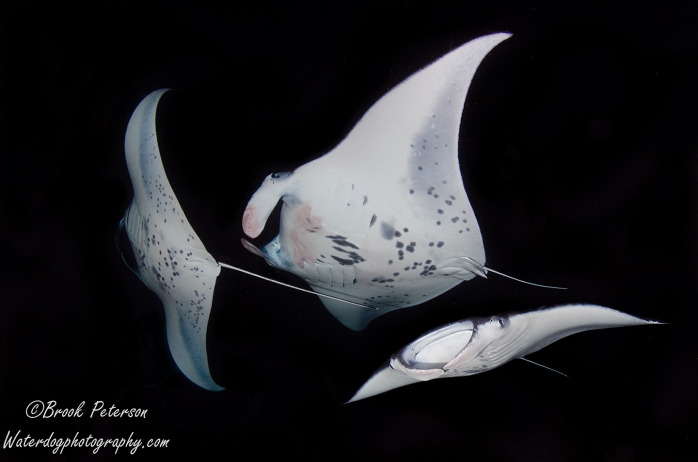 Vinny Ray (a young male Manta) and two friends