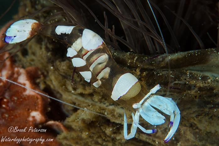 Glass shrimp with eggs