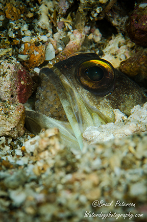 Jawfish with eggs