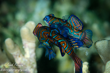 mandarin fish spawning, with eggs