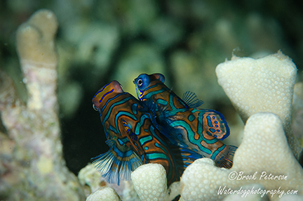 The Mandarin fish begin their slow ascent