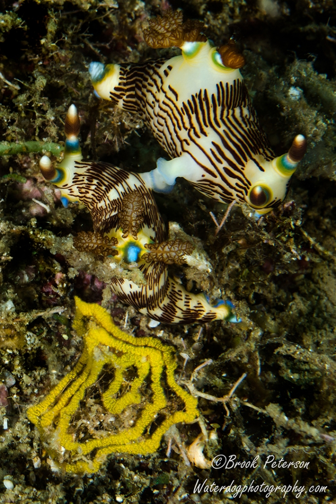 Mating Nudibranchs with eggs