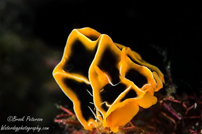 Halgerda Reticulidia  (Reticulidia halgerda)