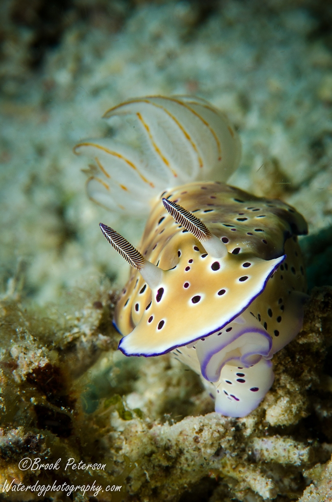 Twin Chromodoris  (Chromodoris geminus)
