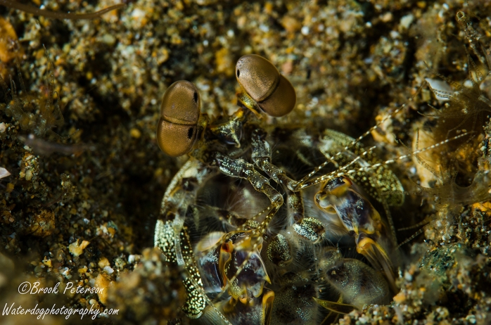Cotton-eyed Mantis Shrimp
