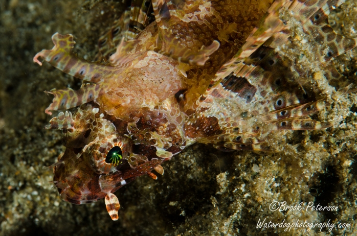 "Scorpion Fish affectionately called a ""Lion fish"""