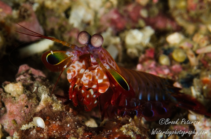 The Mantis Shrimp have the most interesting eyes.  They move independently and are sometimes cross-eyed.  This one is a Peacock Mantis