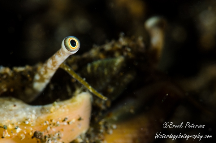 Conch Eye
