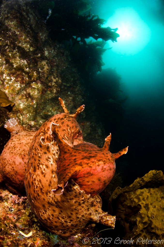 Two Sea Hares coiled in a ball