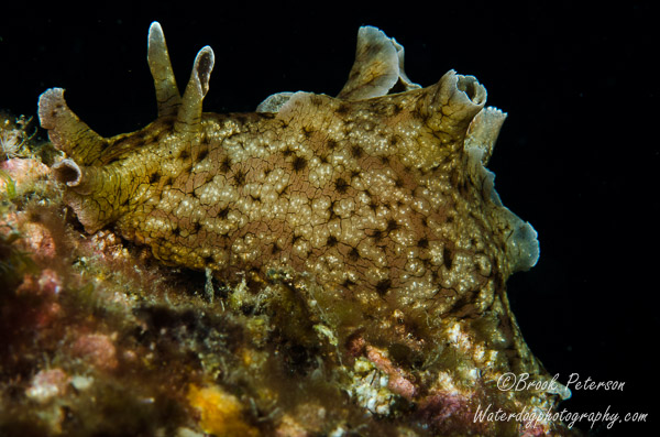 Small Sea Hare