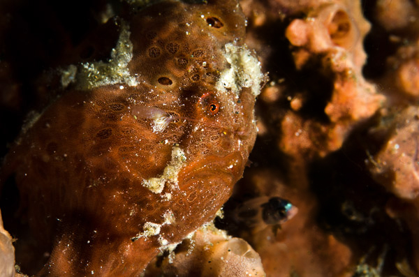 frogfish preying on a small fish attracted to its lure