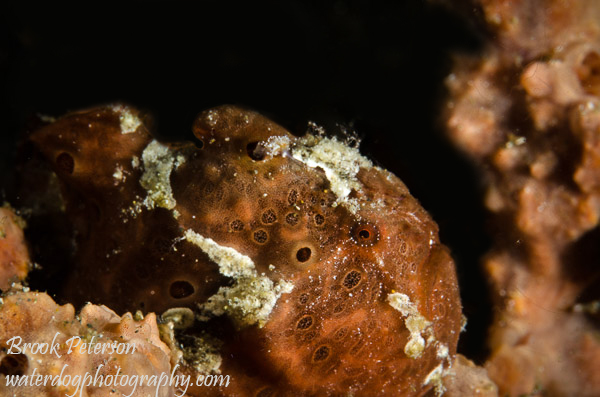 3 seconds after eating it's prey, this frogfish is satisfied!
