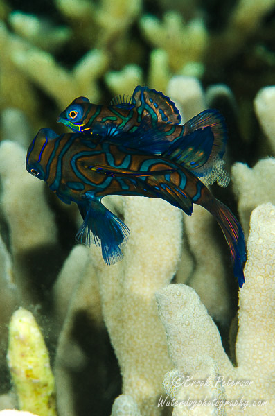 Mandarin Fish with Eggs