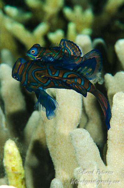 Mandarin Fish with Eggs