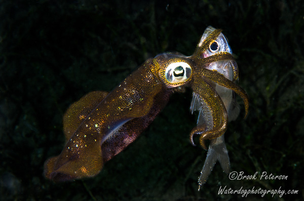 Pygmy  squid with fish