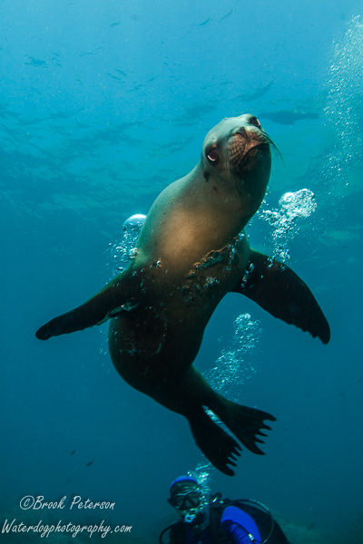 Sea lion gazes at his reflection in the camera housing's dome port.