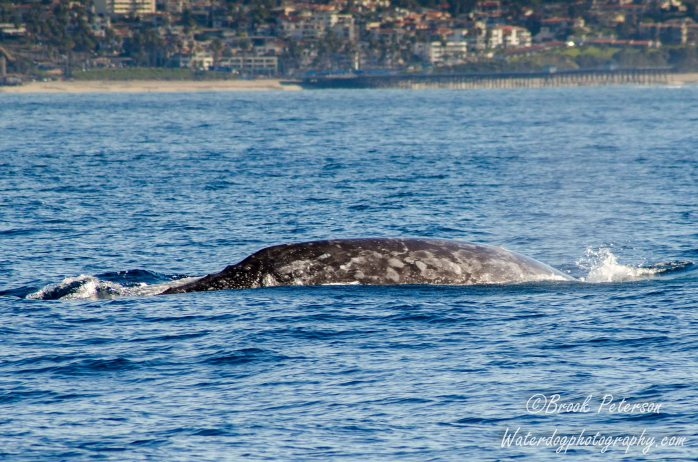Here you can see the ridges on the whales back as it prepares to dive.