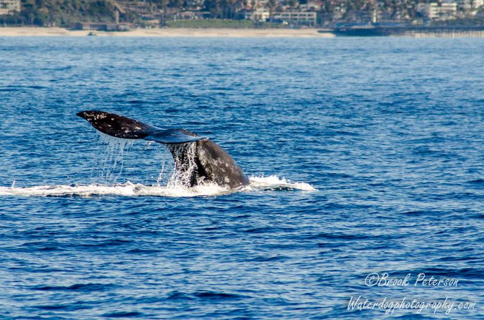 Flukes of a gray whale