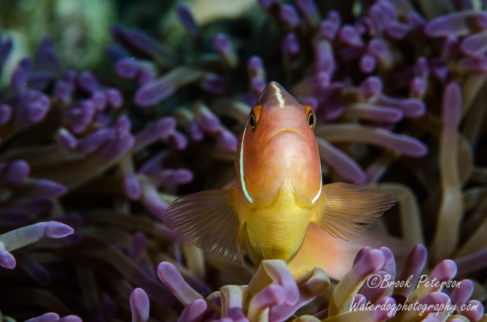 A curious anemone fish defends her home