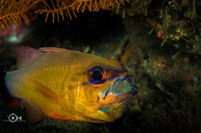 Cardinal fish with well developed eggs