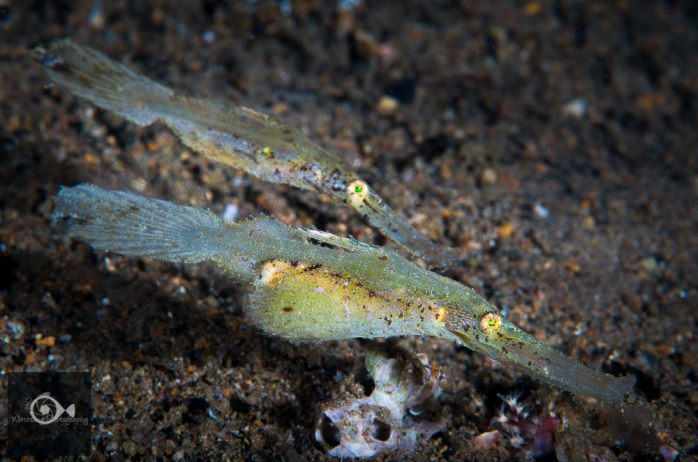 A male and female Robush Ghost Pipefish with eggs.