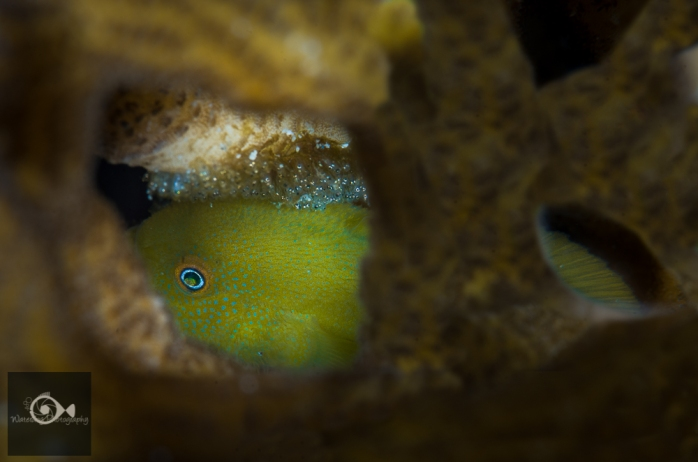 Yellow bearded goby with eggs