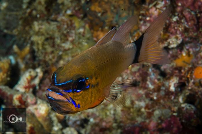 Cardinal fish with fresh eggs