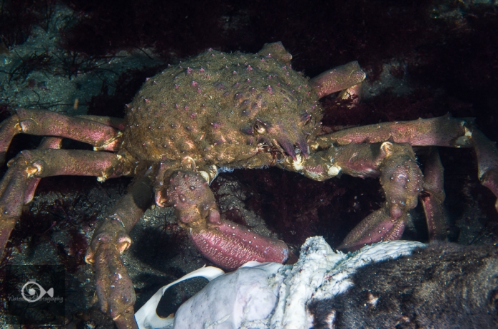 Sheep Crab picking flesh off a sea lion carcass.