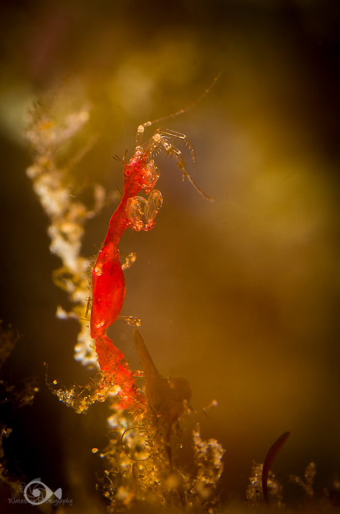 This pregnant skeleton shrimp is one of the amphipods commonly found in California