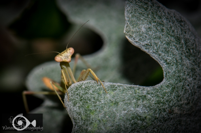 Praying Mantis taken with Nikon D7000, 105mm lens, f/18, 1/100th.
