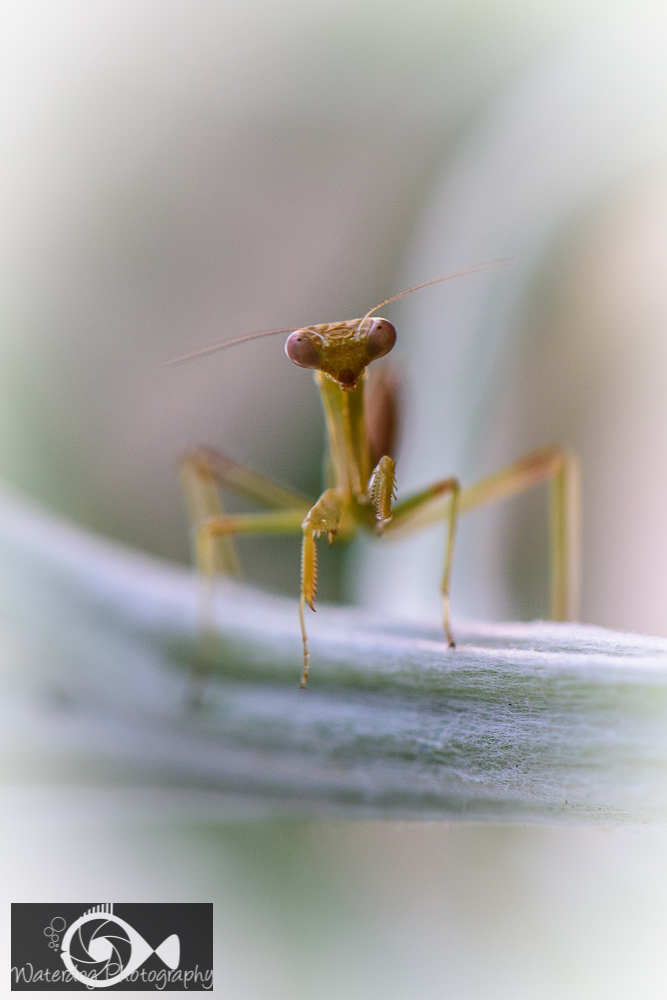 Praying Mantis Portrait taken with D810, 105mm, f/8, 1/160th.
