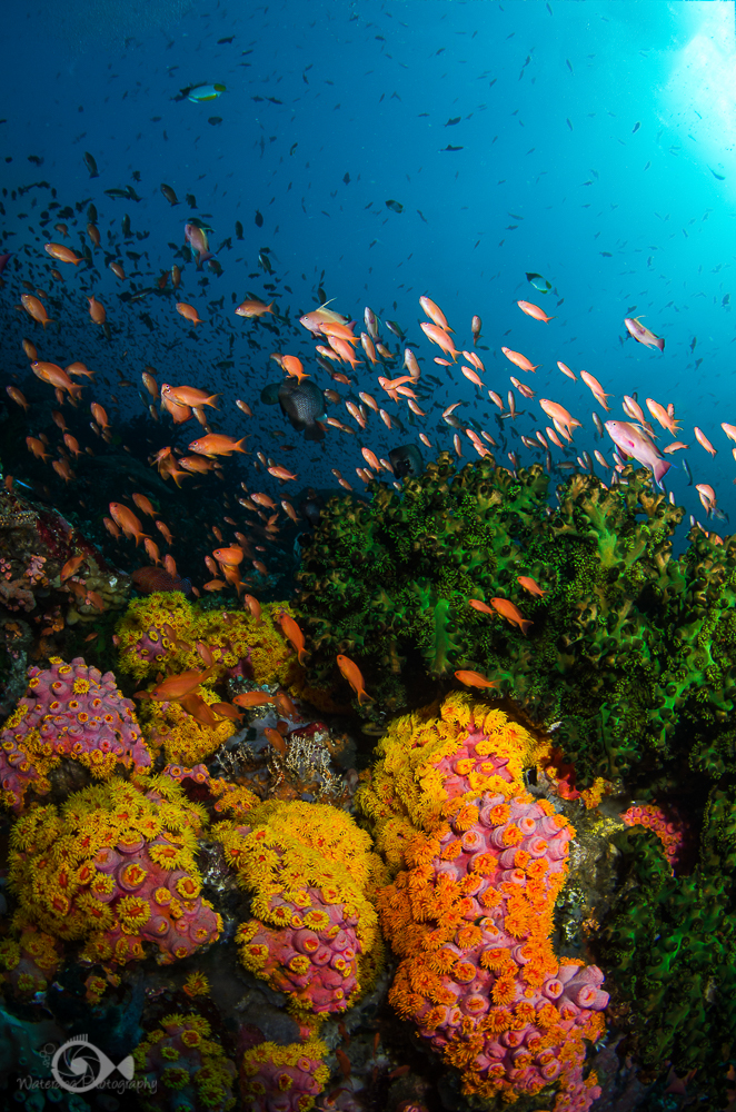 In addition to the beautiful corals and anemone's, fish abound.  These beautiful pinkish fish are anthias.
