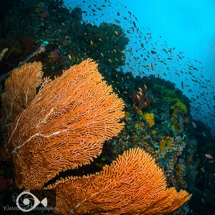 This massive sea fan is not only large, but has a beautiful color that compliments the schools of fish.