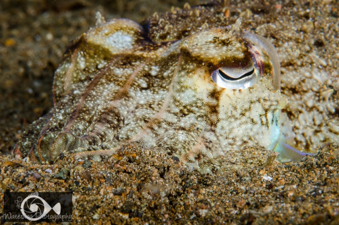 This cuttlefish has taken on the coloring and texture of the sand in which it has half buried itself.