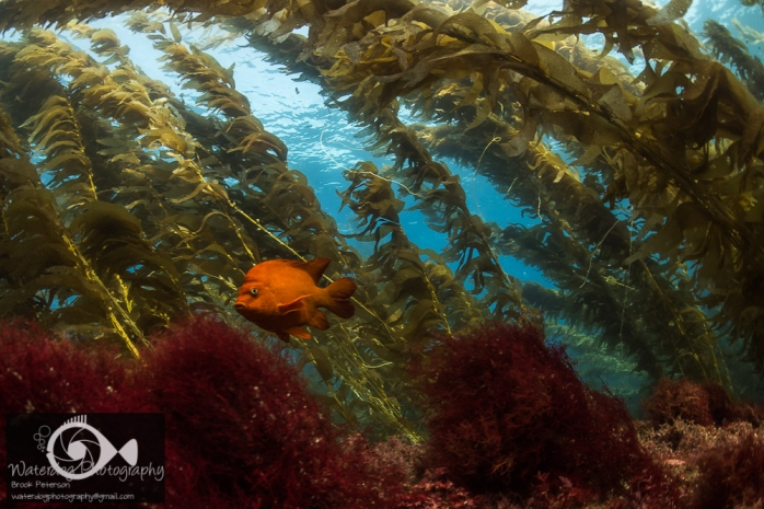 Garibaldi in the Kelp Forest Nikon D810, ISO 500, f/8, 1/50th