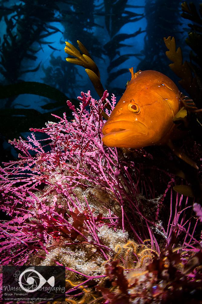 Giant Kelpfish Guarding Eggs