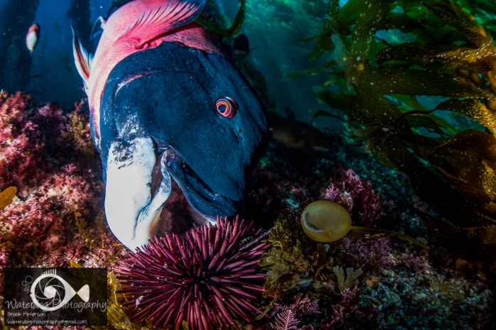 Sheephead Eating a Sea Urchin