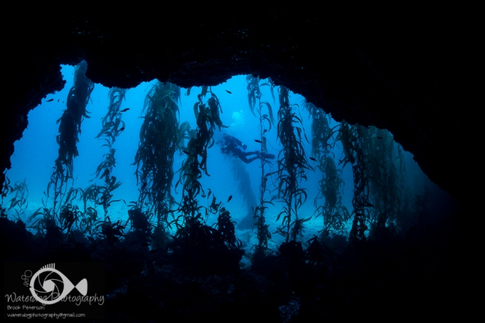 A Diver in the Kelp Forest