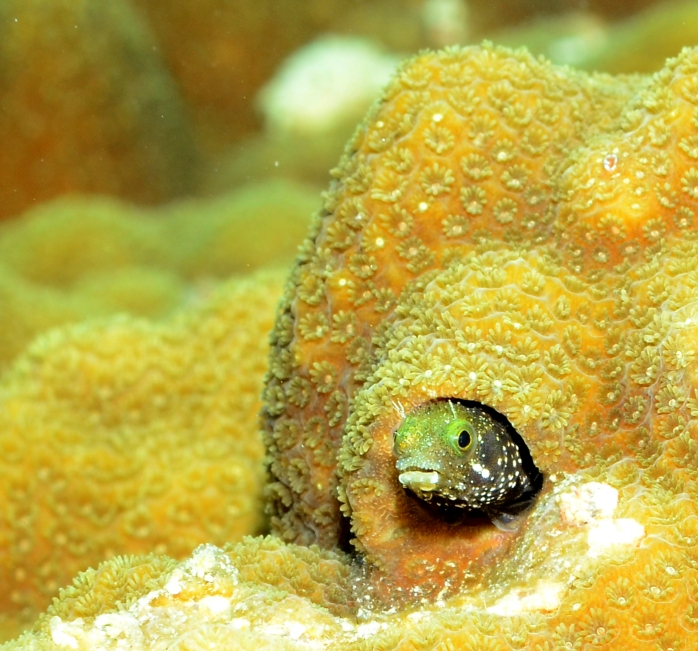 Blenny in hole