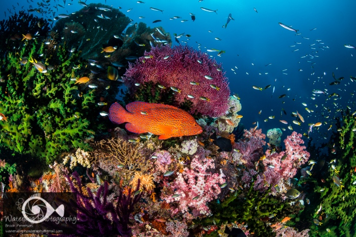 A Coral Grouper rests among the iconic soft and hard corals of Raja Ampat